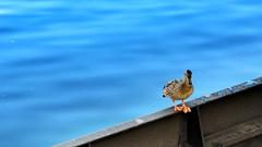 Little Duck on Large Lock Door
