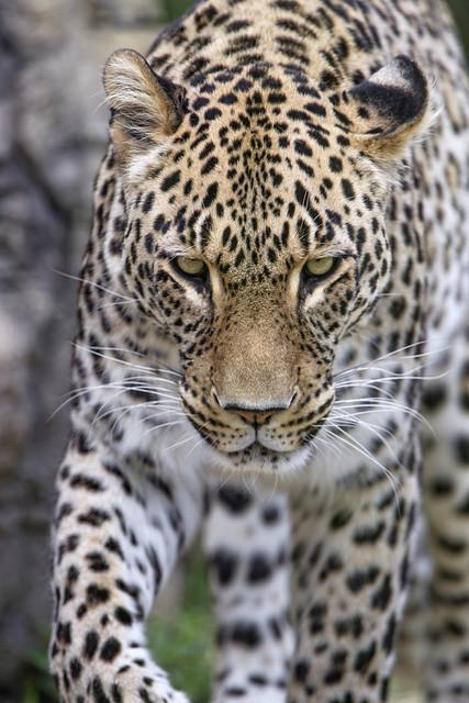 Sleepy leopard walking