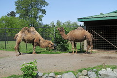 Camels drinking water (1)