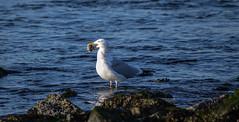Herring Gull with Snail