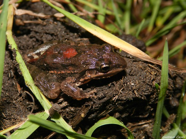 Rana Piadora (Leptodactylus latinasus)