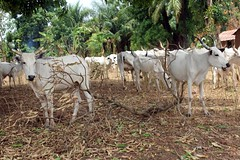 Nigerian Cattle