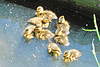 8 Mallard Ducklings 15-0530-4673 by digitalmarbles