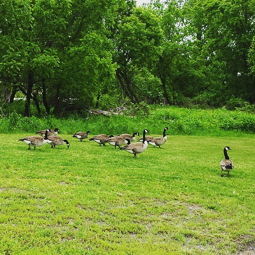 Gooses. #geese #HeyCanadaTakeYourBirdsPlease