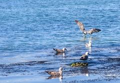 Gaviota - Gaivota - Seagull