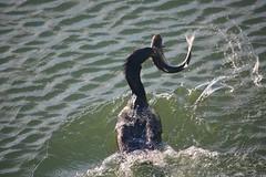 Corvos Marinhos em Acção (Cormorant in action)
