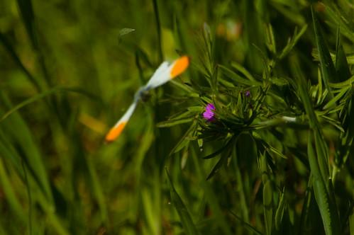 Orange tip butterfly taking flight