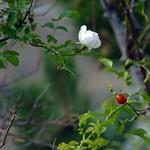 Rosa di macchia: l'ultimo fiore e le prime bacche