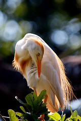 (Best Bird) Honorable Mention - Egret in Full Mating Plumage - Gwen McCarthy
