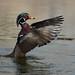 Canard branchu ♂ / Wood Duck