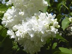 jasmine, hydrangea, lilac, shrub, flower, plant, flora,