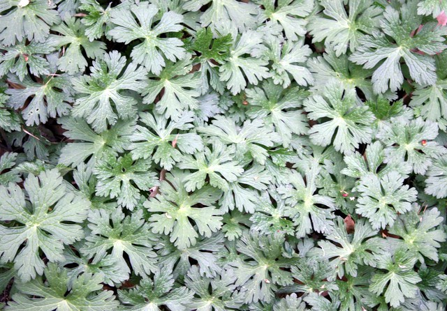 about a hundred wild geranium leaves
