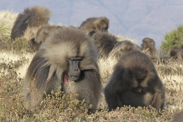 Gelada watching in the Simien Mountains National Park