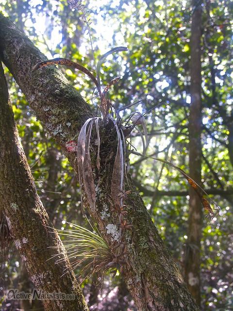 orchid 0004 Gator Hook Trail, Big Cypress National Preserve, Florida, USA