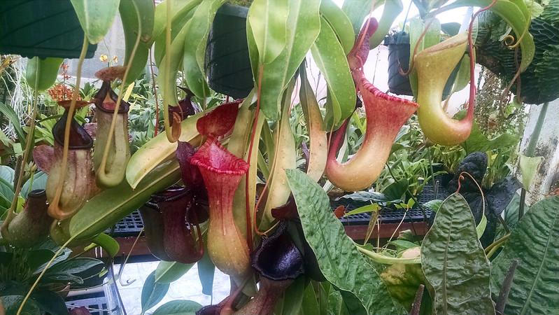 Nepenthes ×briggsiana.
