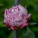 Today's peony by Ramon2002