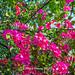 Harry_24542,九重葛,花朵,花卉,Paper Flower,Flower