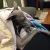 Poochini thinking deep thoughts. #italiangreyhound #baddog