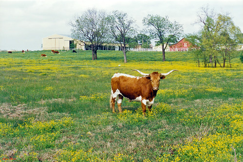flowers field cow scenery texas cattle farm pasture wildflowers longhorn boyd
