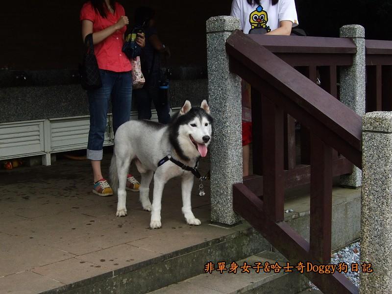 哈士奇Doggy2012陽明山二子坪12