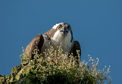 Osprey,.....the necklace clearly visible, tricky light but