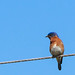 Mr. Bluebird by De' Fiddler