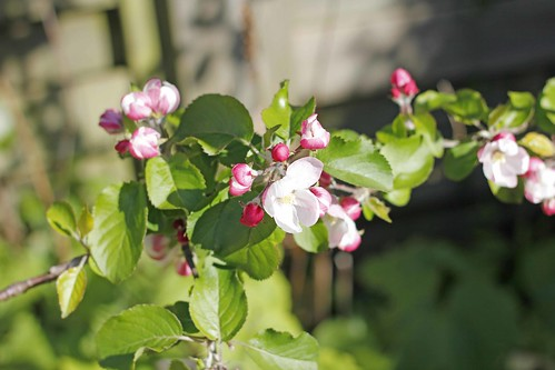 Cox's Apple Blossom