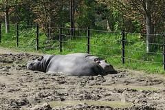 Hippos sleeping (6)