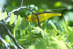 Yellow Warbler DE MAY b JG1A1129