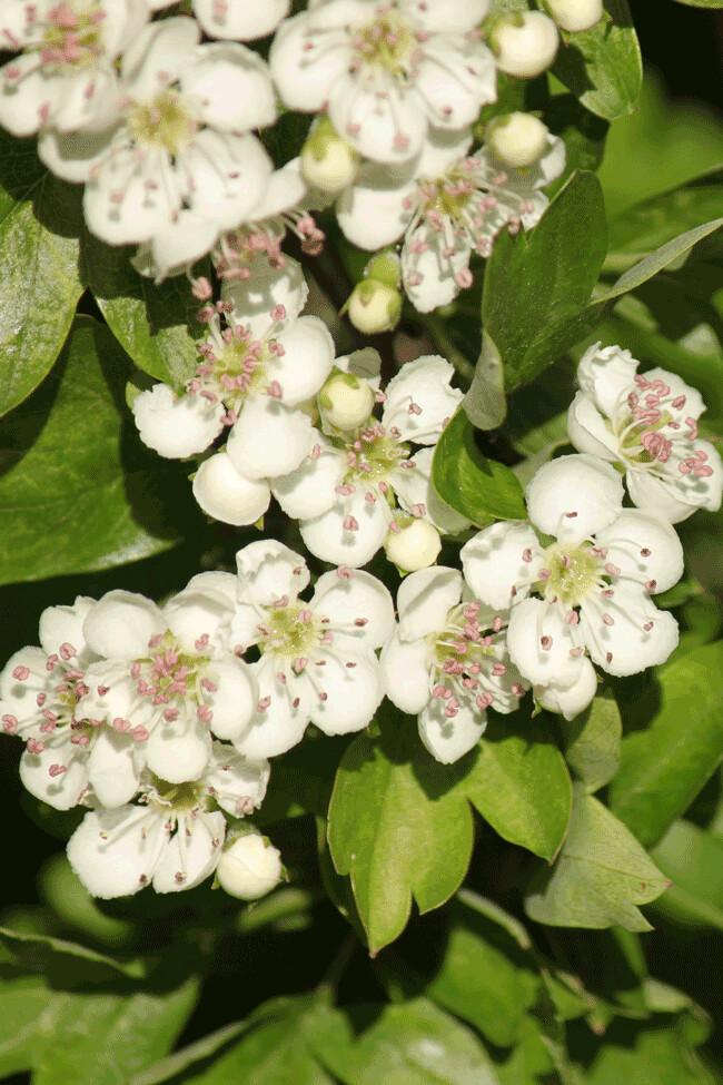 hawthorn-blossom-2