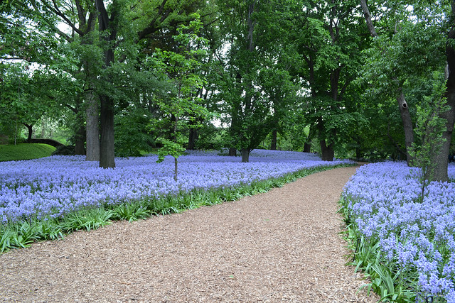 Hyacinthoides hispanica 'Excelsior' (Spanish bluebell), in Bluebell Wood. Photo by Lee Patrick.