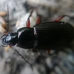 rezes gyászfutó - Poecilus cupreus