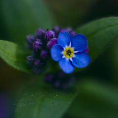 flower, leaf, purple, plant, nature, macro photography, wildflower, flora, green, forget-me-not, close-up, petal,