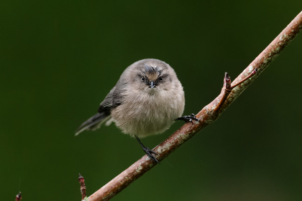 A female bushtit perches on a dogwood tree