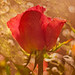 """""""Single Red Rose"""" by Patti Deters"""