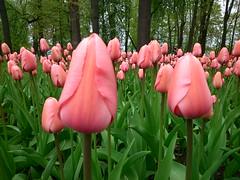 'Pink Impression' tulip