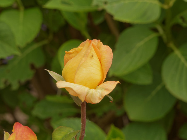 Le bouton d'or - The golden bud