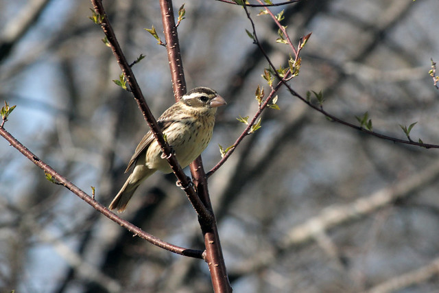 Grosbeak in Pin Cherry
