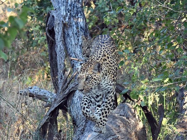 Leopard, Tree, Cub