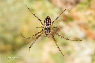 Hermit spider (Nephilengys sp.) - DSC_8519