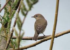 Garden Warbler - Sylvia borin