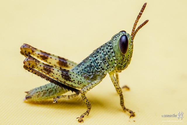 Pulau Ubin Grasshopper-5274-