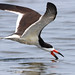 Black Skimmer by rivadock4