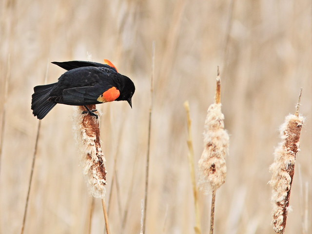 Red-winged Blackbird 20150506