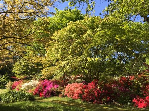 2015-05-16 Evergreen azaleas at Exbury Gardens (3) © Marie-Louise Agius