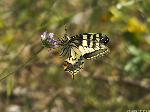 De koninginnenpage (Papilio machaon)