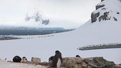 Yellow Penguins on Antarctica