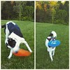 The grass is finally at a point where we can play in it... so we did! FRISBEEEEEEE!!! #dogginlove #frisbeelove #homesweethome #oldhamcountyKY