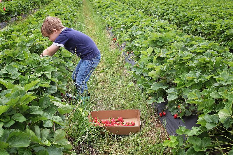 Kansas City Photographer Strawberry Picking