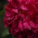 Dew Rose (Day 149/365)
